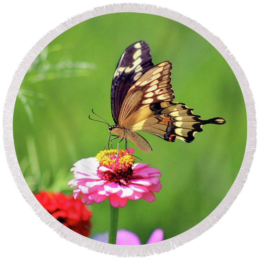 Giant Swallowtail Butterfly Round Beach Towel featuring the photograph Giant Swallowtail Butterfly On Pink Zinnia by Karen Adams
