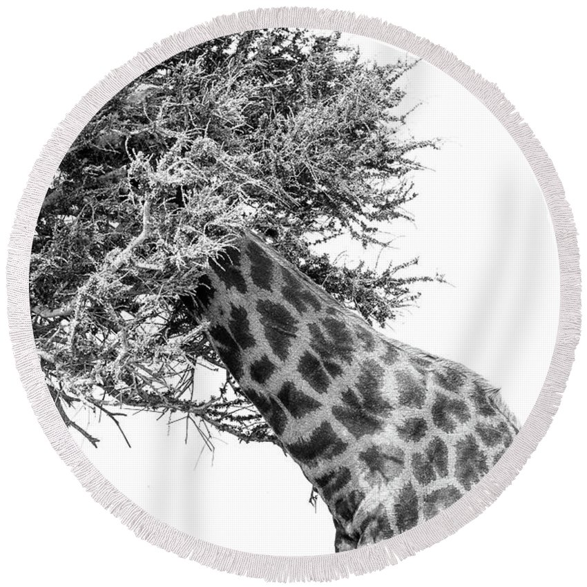 Giraffe Round Beach Towel featuring the photograph Giraffe Hide And Seek by Tom Broadhurst