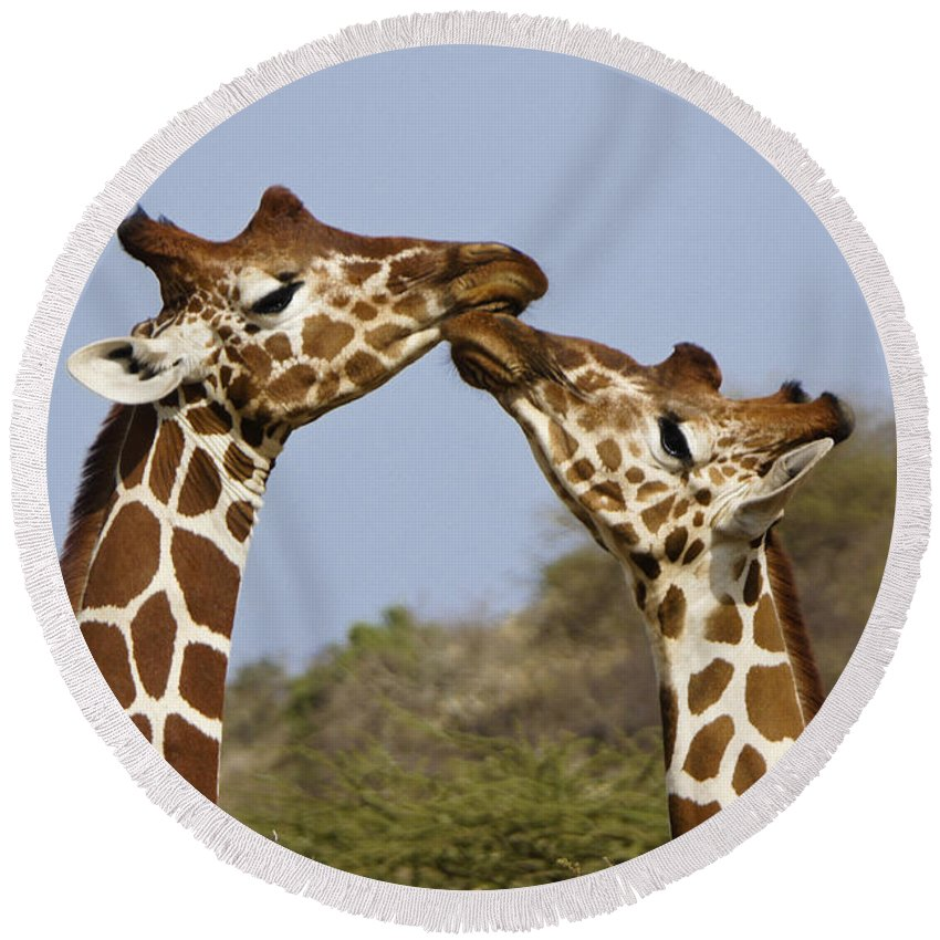 Africa Round Beach Towel featuring the photograph Giraffe Kisses by Michele Burgess