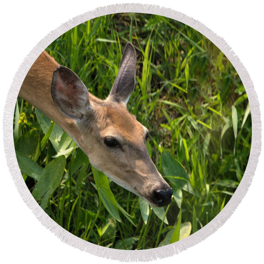 Whitetail Deer Round Beach Towel featuring the photograph Going For The Leaf by Linda Kerkau