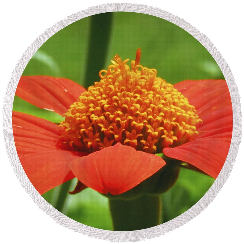 Flower Round Beach Towel featuring the photograph Golden Crown On Red by Robert Knight