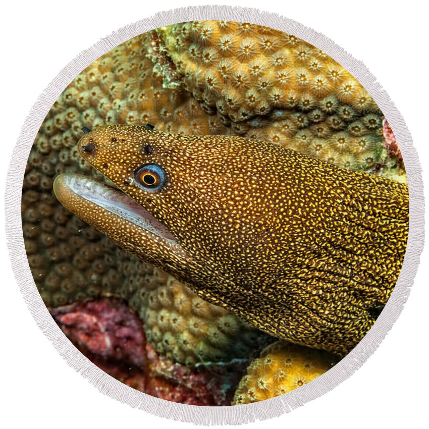 Goldentail Round Beach Towel featuring the photograph Goldentail Moray by Dianne Phelps