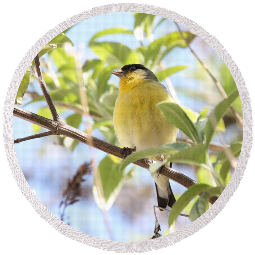 Bird Round Beach Towel featuring the photograph Goldfinch In Spring Tree by Carol Groenen