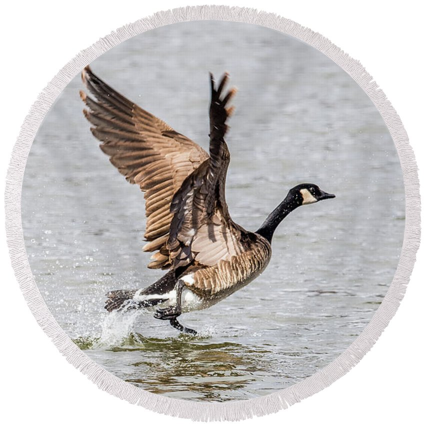 Round Beach Towel featuring the photograph Goose Takeoff by Paul Freidlund