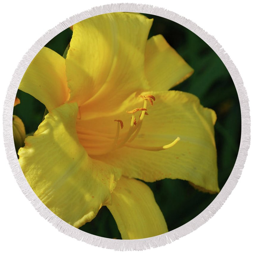 Lily Round Beach Towel featuring the photograph Gorgeous Flowering Yellow Daylily Blooming In A Garden by DejaVu Designs