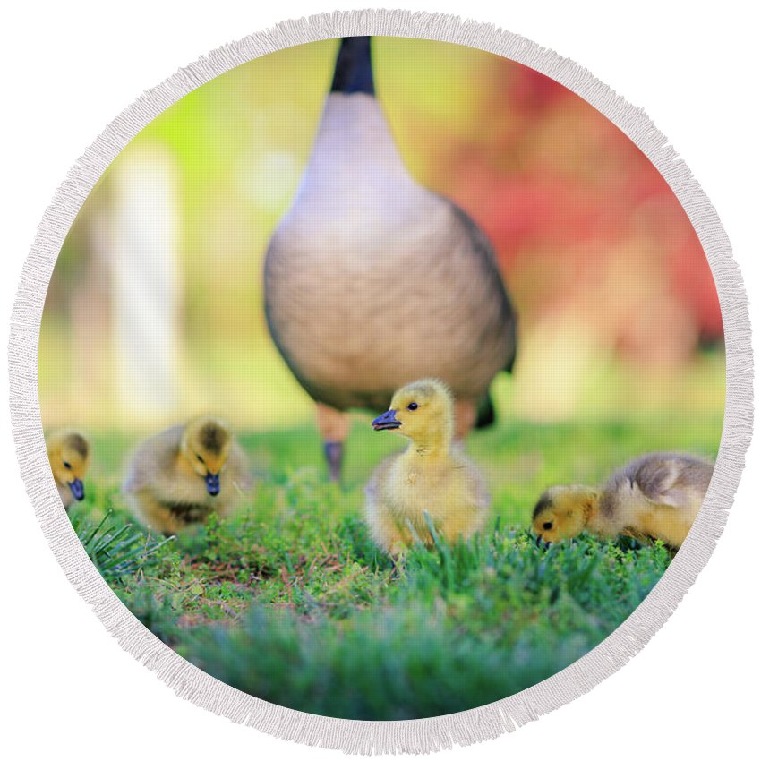Goslings Round Beach Towel featuring the photograph Goslings In The Park by Chris Greig