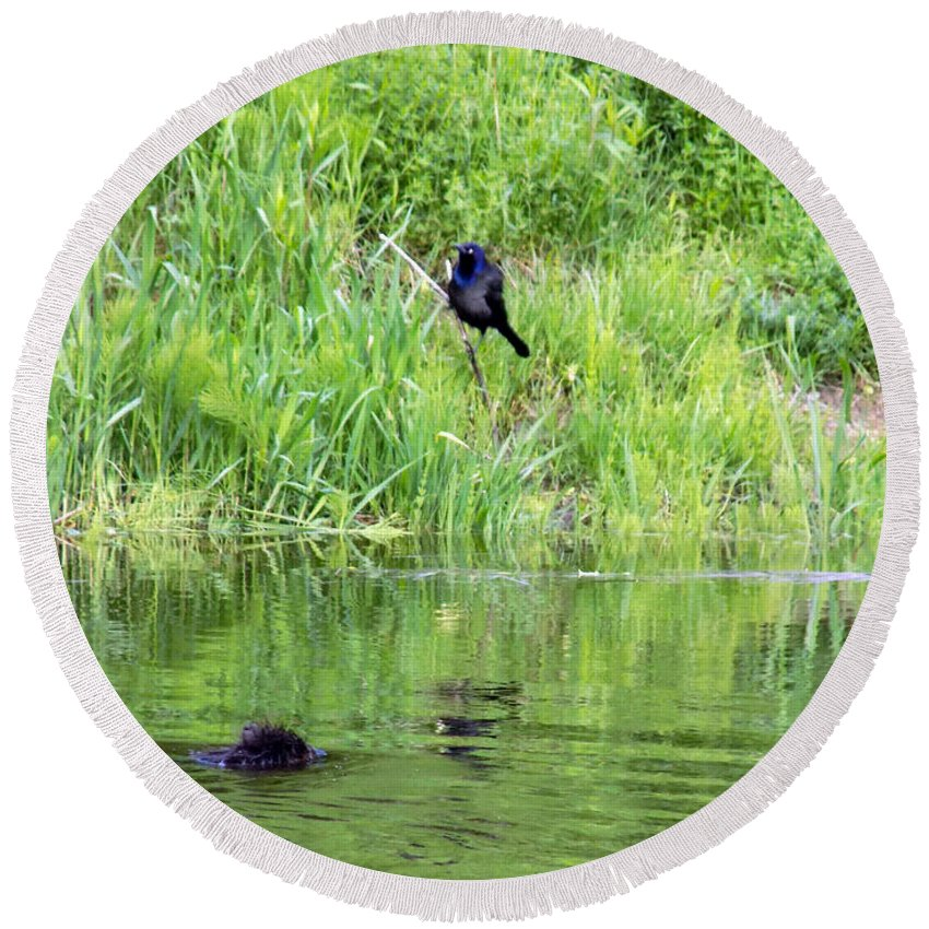 Grackles Round Beach Towel featuring the photograph Grackle Meets Beaver by William Tasker