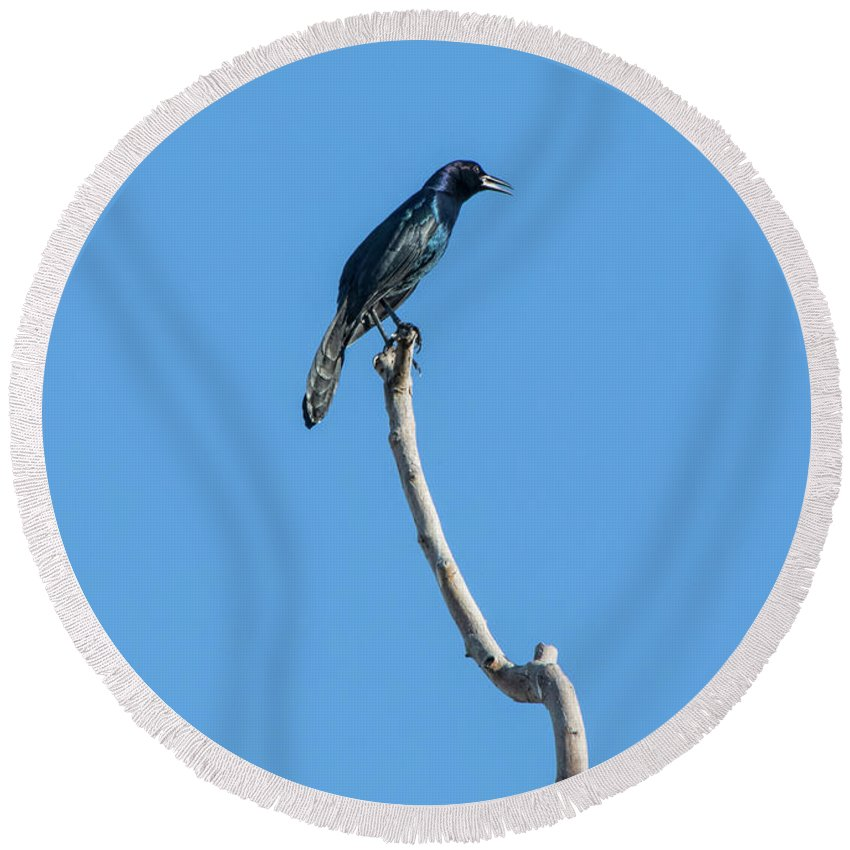 Grackles Are Pretty In The Sun Round Beach Towel featuring the photograph Grackles Are Pretty In The Sun by William Tasker