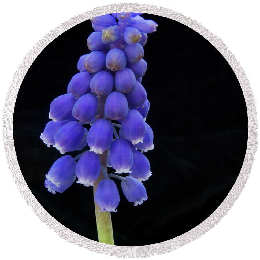 Hyacinth Round Beach Towel featuring the photograph Grape Hyancinth 2977 by Michael Peychich