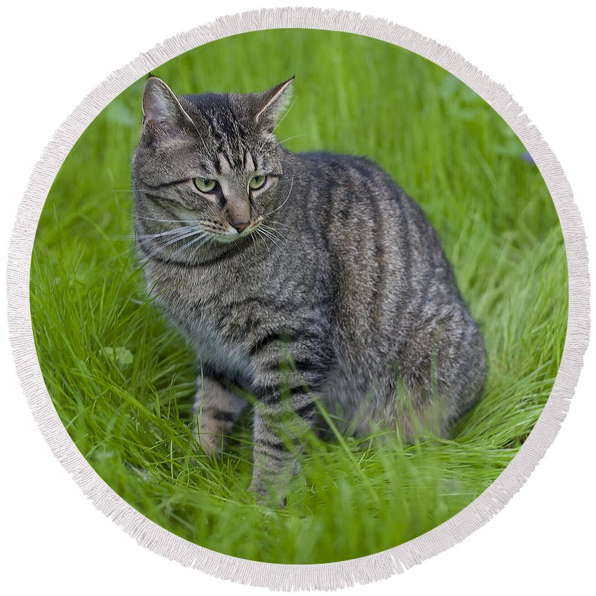 Cat Round Beach Towel featuring the photograph Gray Cat In Vivid Green Grass by John Harmon