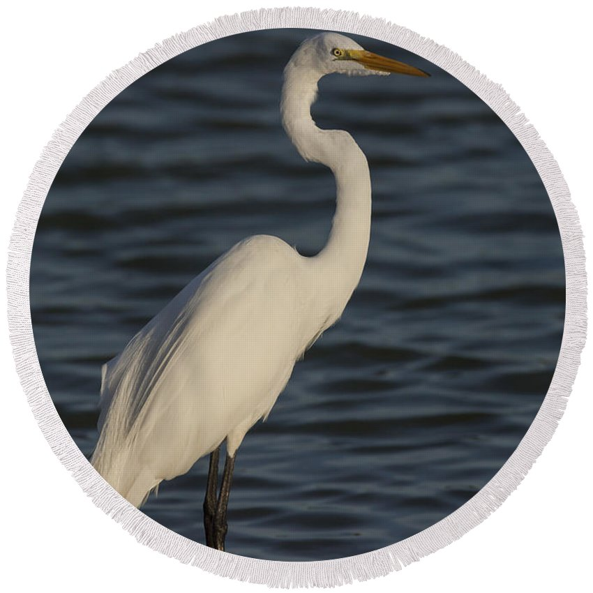 Great Round Beach Towel featuring the photograph Great Egret In The Last Light Of The Day by David Watkins