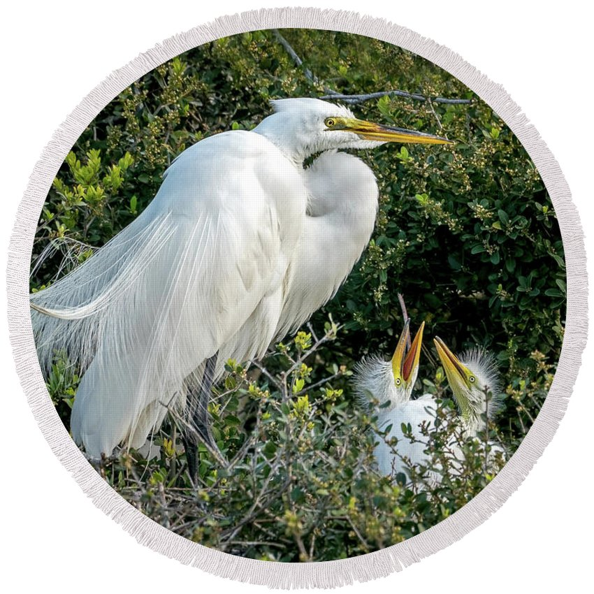 Great Egrets Round Beach Towel featuring the photograph Great Egret Mom And Babies by Judi Dressler