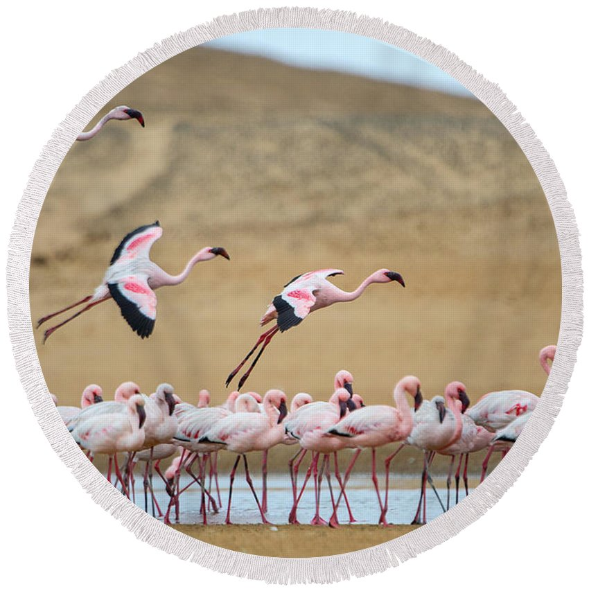 Photography Round Beach Towel featuring the photograph Greater Flamingos Phoenicopterus by Panoramic Images