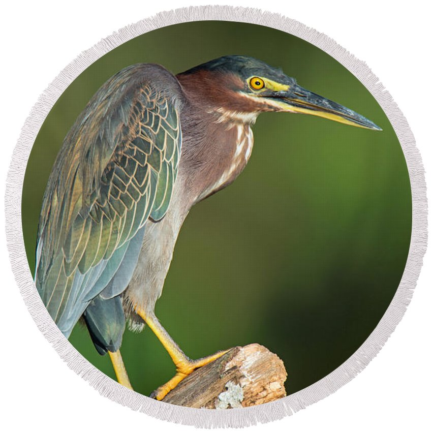 Photography Round Beach Towel featuring the photograph Green Heron Butorides Virescens by Panoramic Images