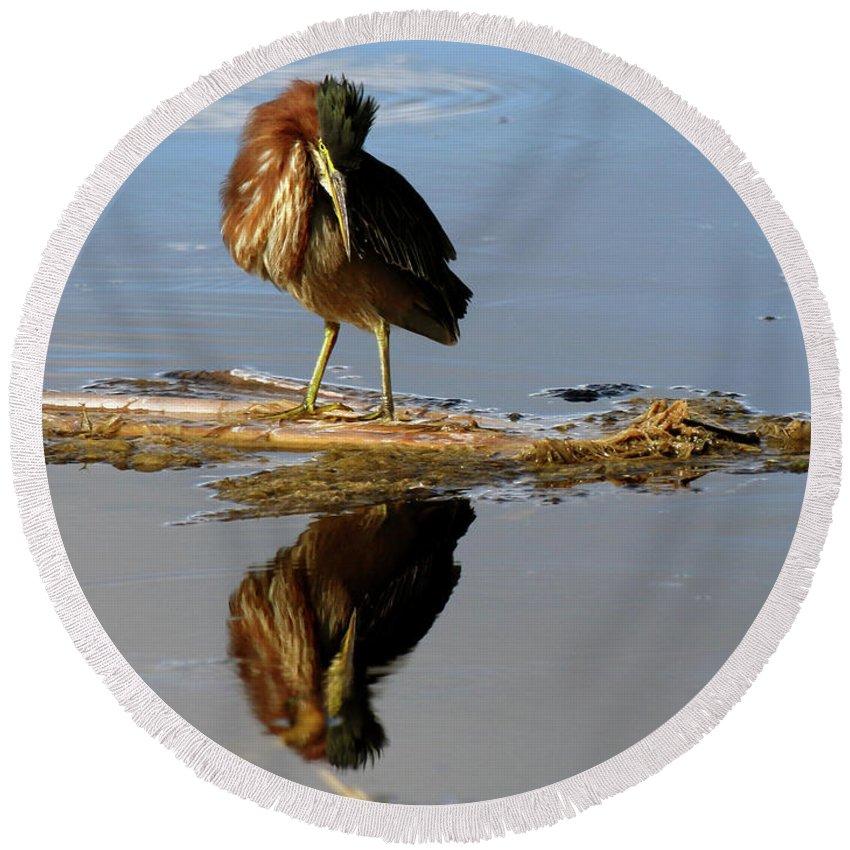 Bird Round Beach Towel featuring the photograph Green Heron Preening by Mercedes Martishius