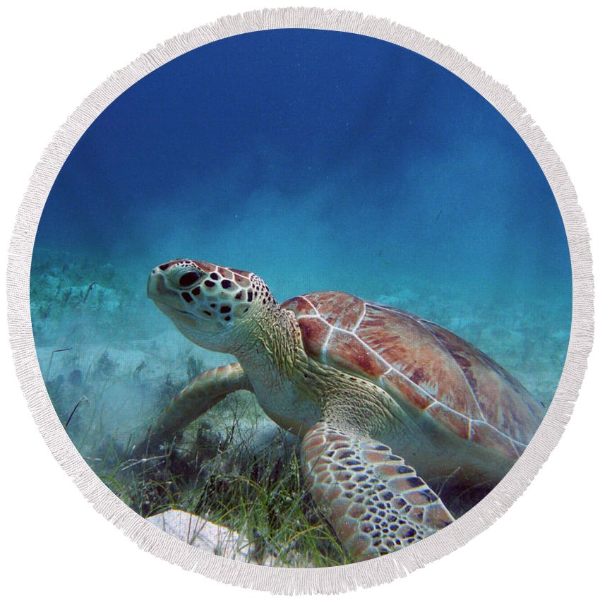 Salt Pond Round Beach Towel featuring the photograph Green Turtle by Kimberly Mohlenhoff