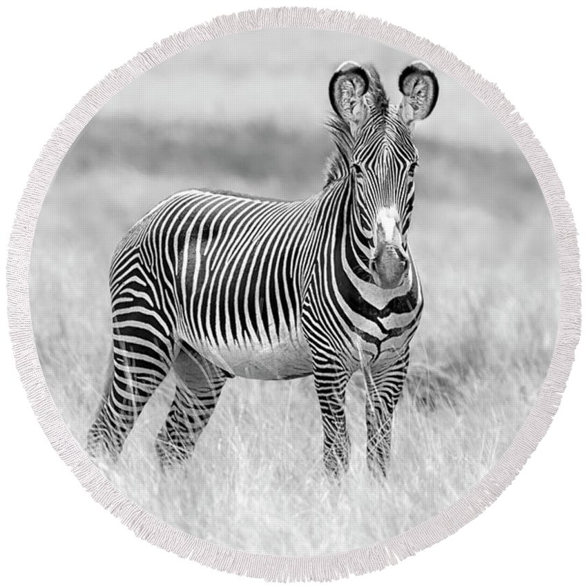 Africa Round Beach Towel featuring the photograph Grevy Zebra 5953bw by Karen Celella