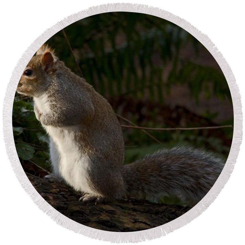 Squirel Round Beach Towel featuring the photograph Grey Squirel by Rob Mclean