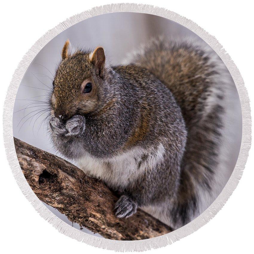 Squirrel Round Beach Towel featuring the photograph Grey Squirrel by Paul Freidlund
