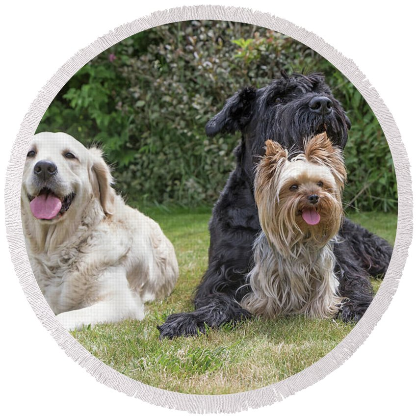Pet Round Beach Towel featuring the photograph Group Of Three Dogs by Jaroslav Frank
