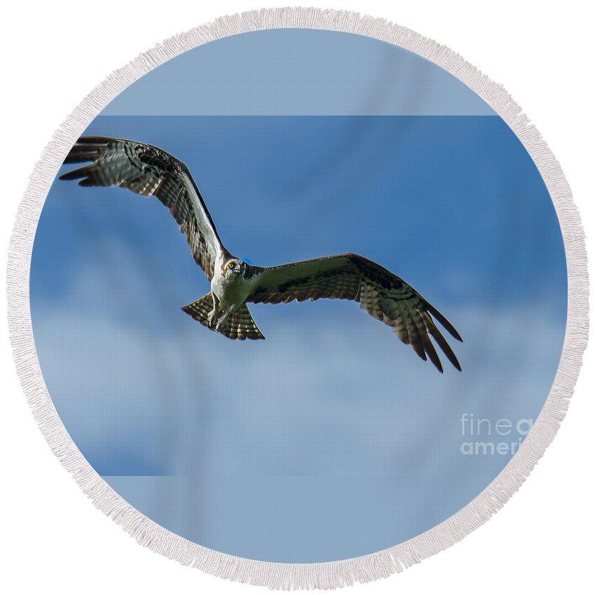 Osprey Round Beach Towel featuring the photograph Gulf Osprey by James Hennis