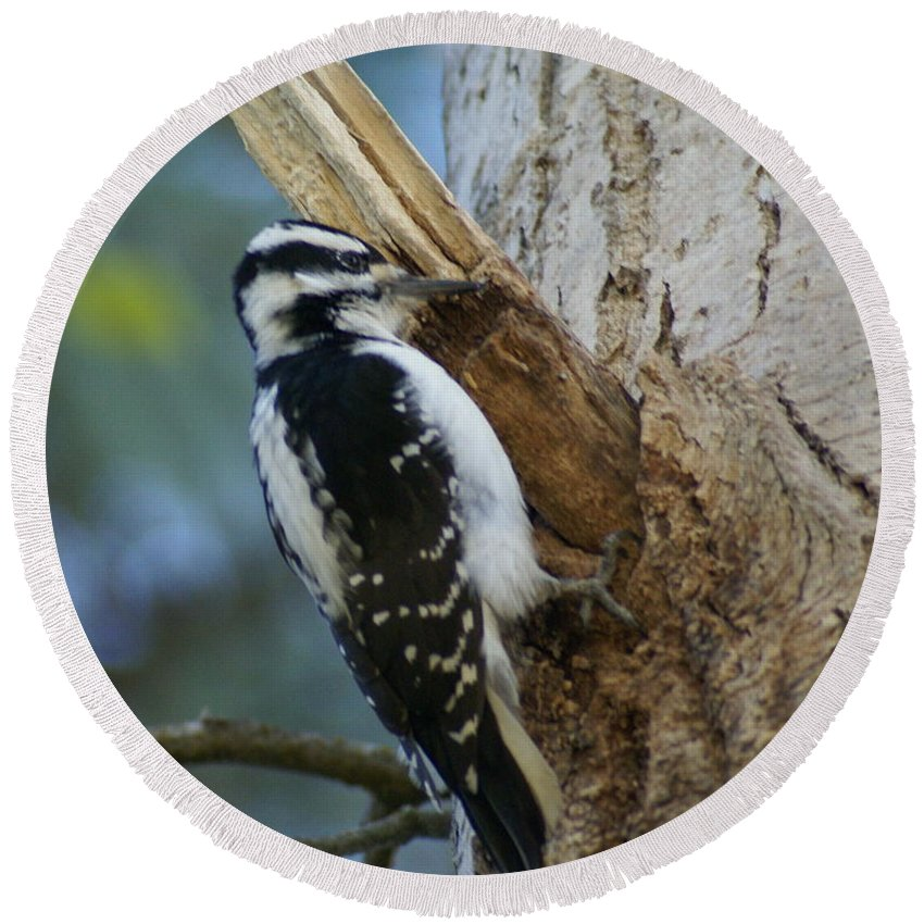 Birds Round Beach Towel featuring the photograph Hairy Woodpecker by Ben Upham III