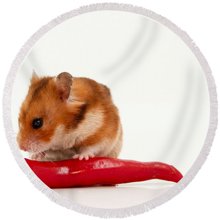 Hamster Round Beach Towel featuring the photograph Hamster Eating A Red Hot Pepper by Yedidya yos mizrachi