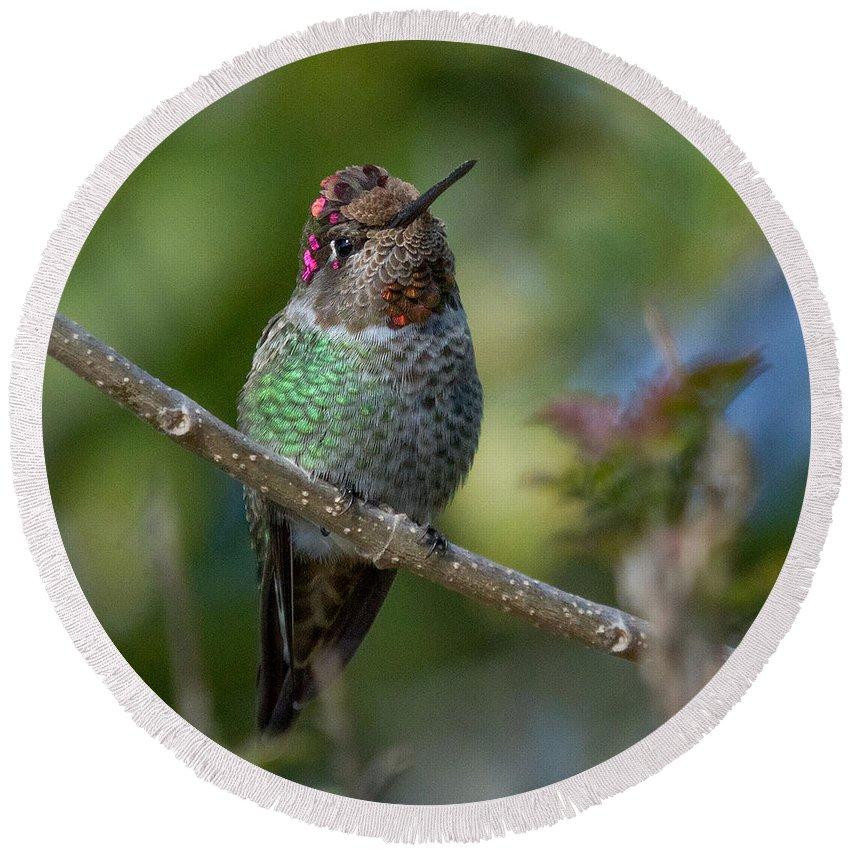 Hummingbird Round Beach Towel featuring the photograph Curly Top Hummer Do by Leslie Reagan - Joy To The Wild Photos