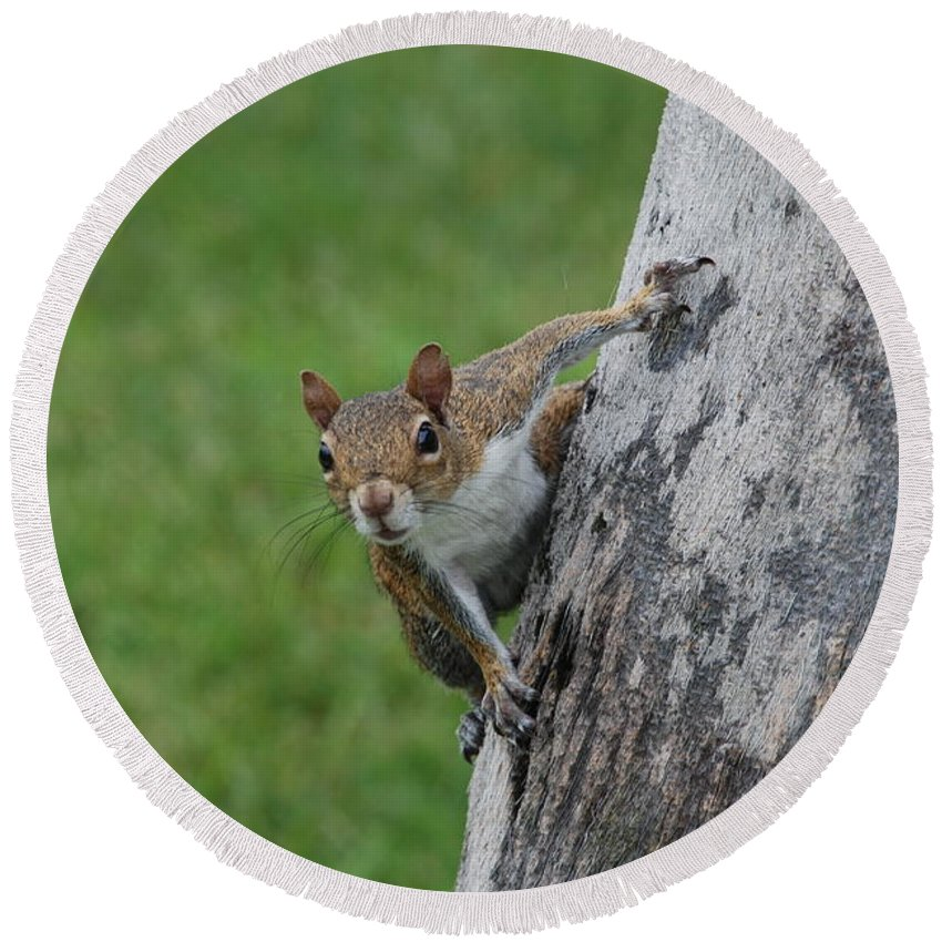 Squirrel Round Beach Towel featuring the photograph Hanging On by Rob Hans