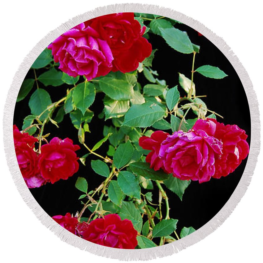 Rose Round Beach Towel featuring the photograph Hanging Roses 2593 by Michael Peychich