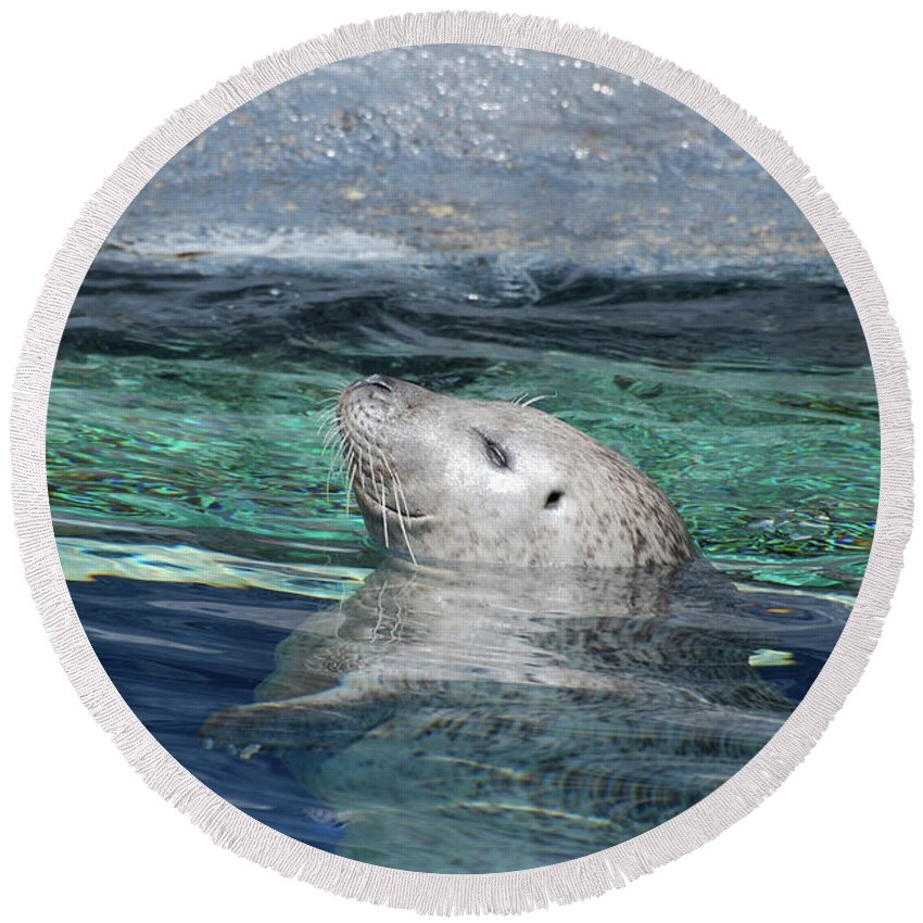 Seal Round Beach Towel featuring the photograph Harbor Seal Poking His Head Out Of The Water by DejaVu Designs