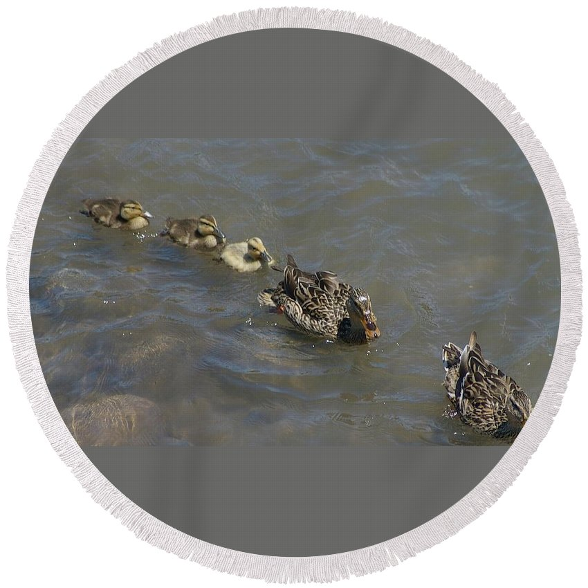 Fowl Round Beach Towel featuring the photograph Having Your Duckies In A Row by Jeff Swan