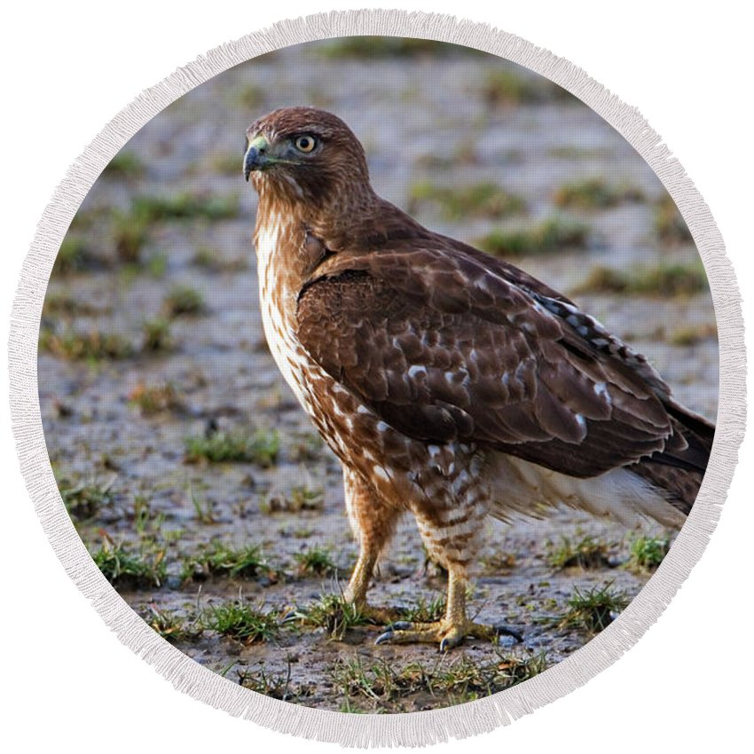 Hawk Round Beach Towel featuring the photograph Hawk On A Walk by Randall Ingalls