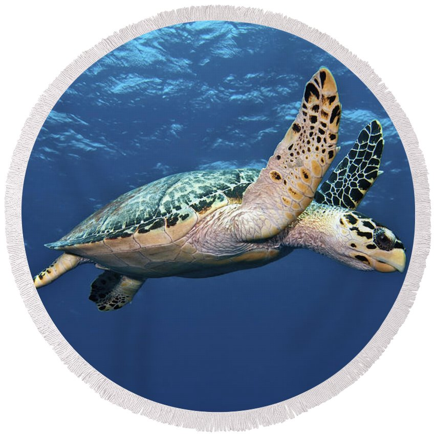Caribbean Round Beach Towel featuring the photograph Hawksbill Sea Turtle In Mid-water by Karen Doody
