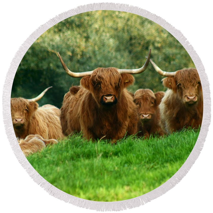 Cow Round Beach Towel featuring the photograph Heilan Coo by Angel Ciesniarska