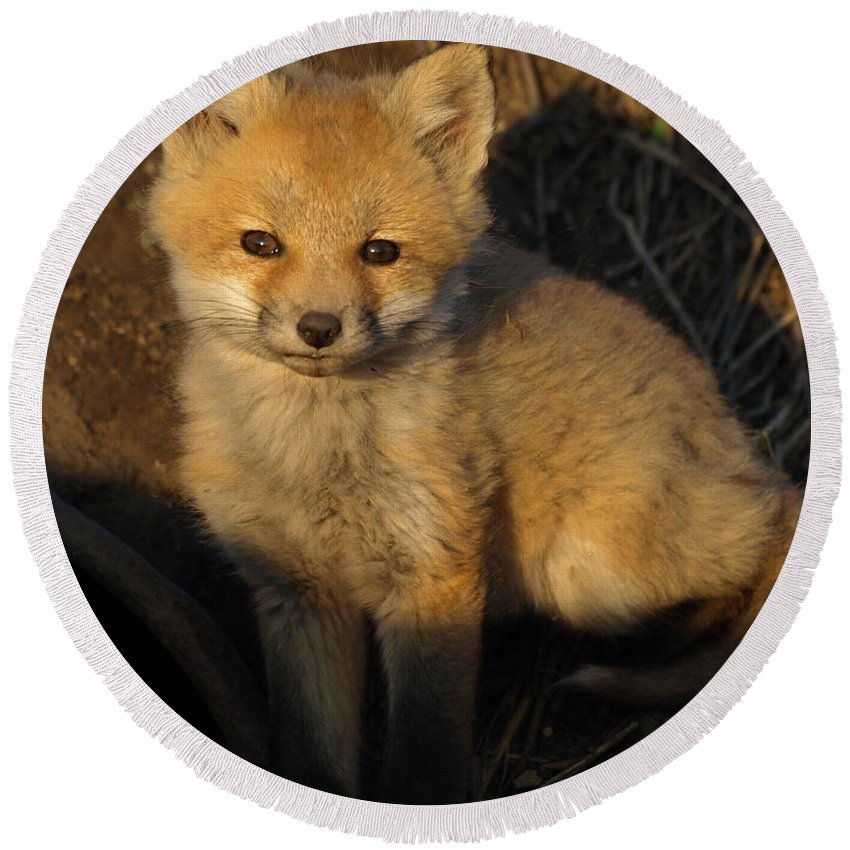 Petersonnaturephoto Nature Red Fox Foxes Kit Kits Puppy Puppies Pup Pups Baby Animals Animal Babies Minnesota Mn April Spring Adorable Cute Cutie Cuties Wildlife Den Dens Ditch Dog Dogs Canine Canines Wild Foxy Fur Hunting Hunters Trapping Trappers Gift Gifts Orange Predator Predators Portrait Carnivore Furry Outdoors Close-up Beauty Beautiful Creature Creatures Furbearer Furbearers Young Mammal Natural Hunter Little Habitat Digital Rural North American America Vertical Environment Juvenile Round Beach Towel featuring the photograph Here's Looking At You, Kit. by James Peterson