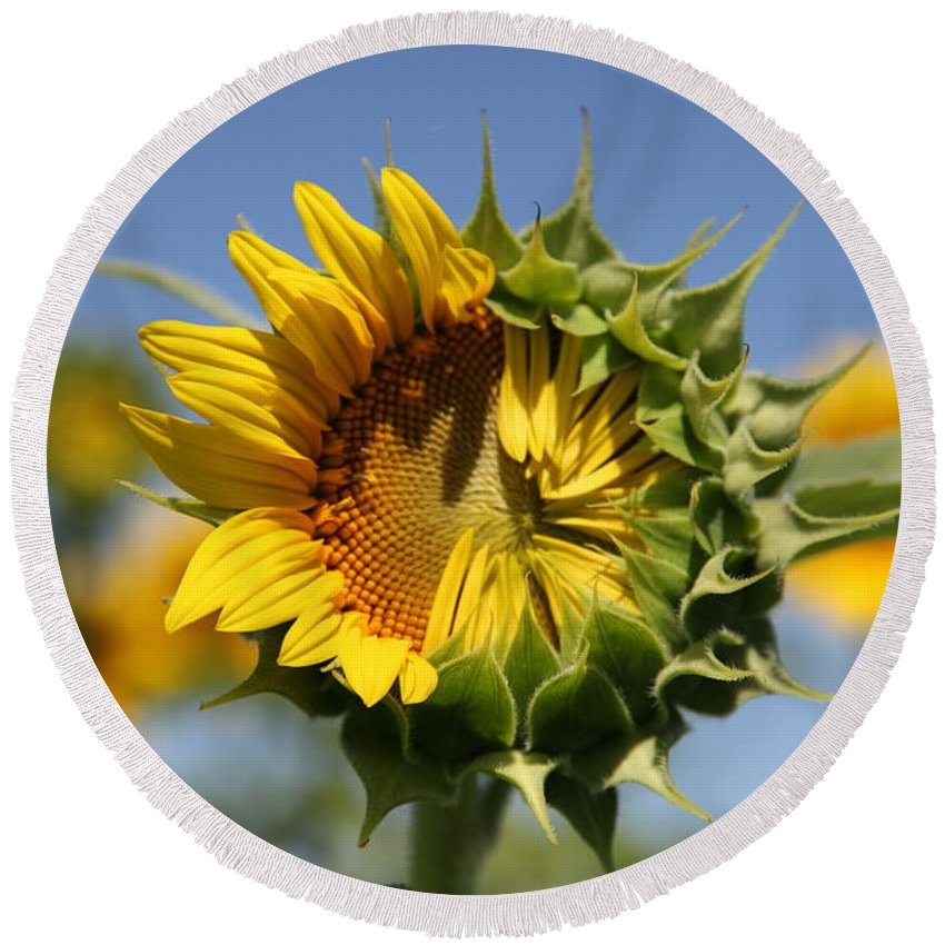 Sunflowers Round Beach Towel featuring the photograph Hesitant by Amanda Barcon