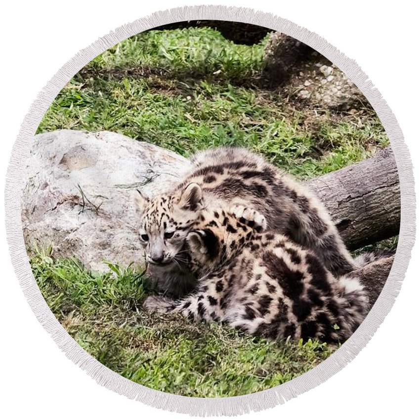 Snow Leopards Round Beach Towel featuring the photograph Hiding His Face by Tom Horsch Photography