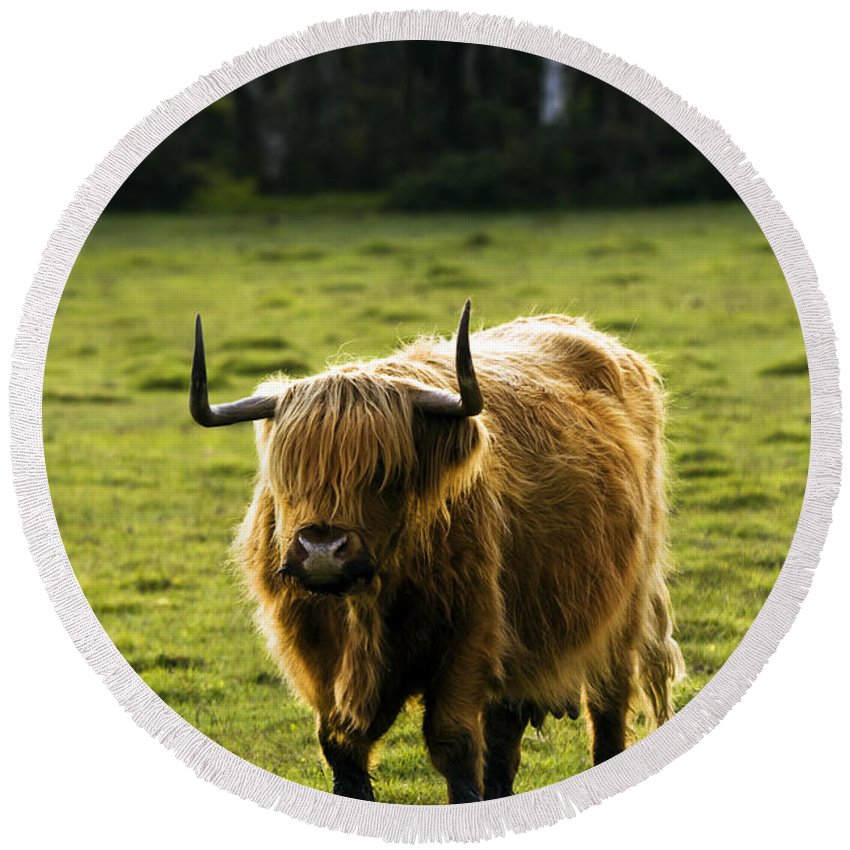 Heilan Coo Round Beach Towel featuring the photograph Highland Cattle by Angel Tarantella
