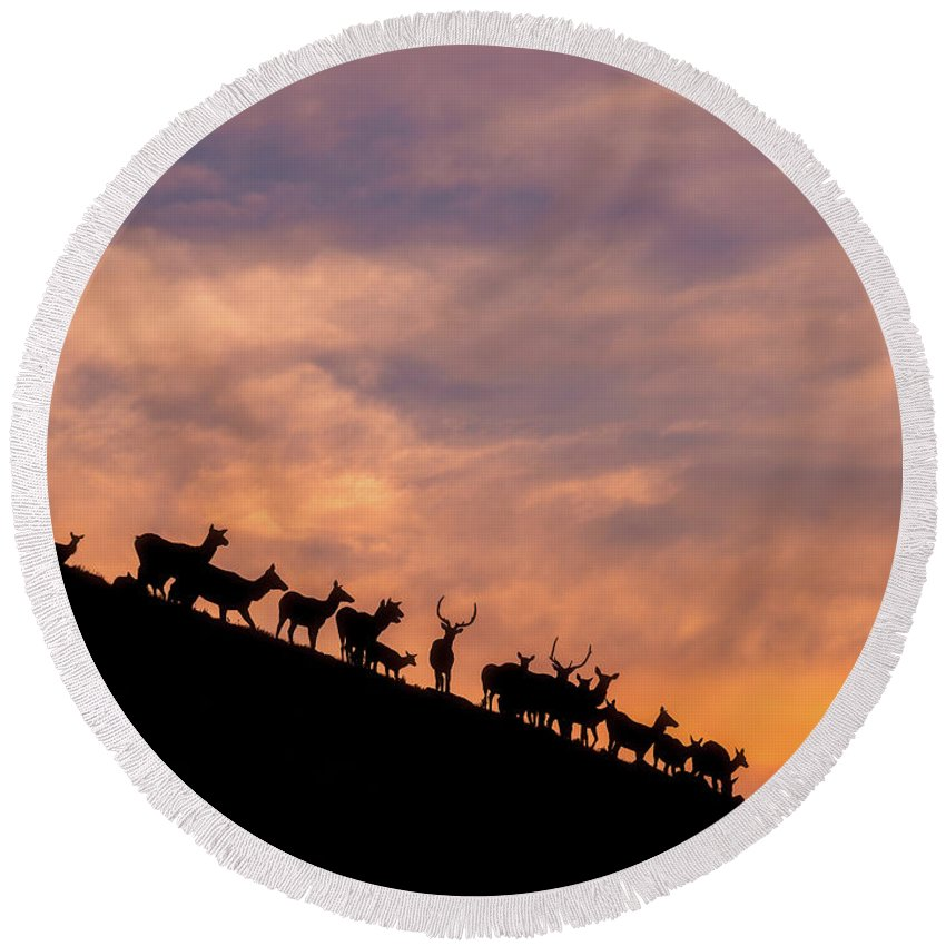 Elk Round Beach Towel featuring the photograph Hillside Elk by Darren White