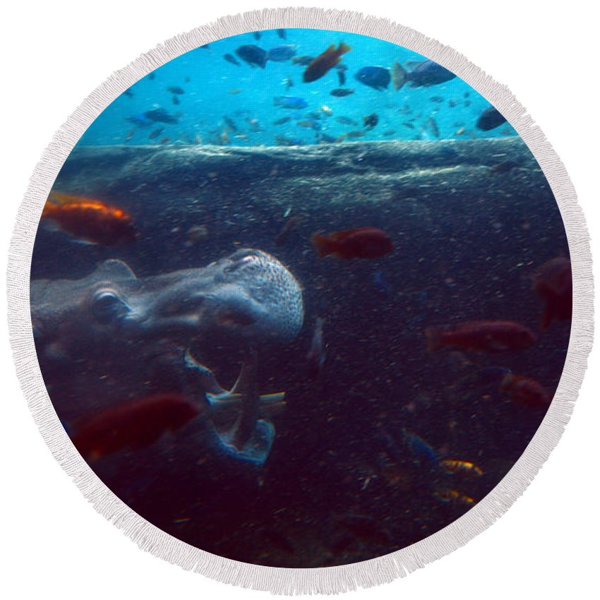 Hippo Round Beach Towel featuring the photograph Hippo Eating African Cichlids by Pat Turner
