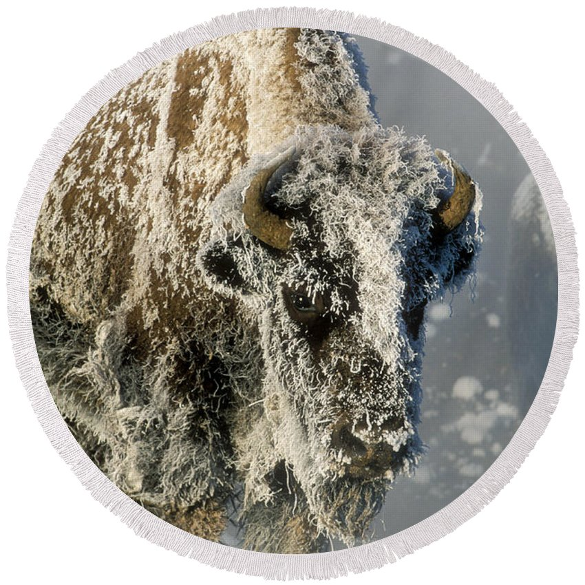 Bison Round Beach Towel featuring the photograph Hoarfrosted Bison In Yellowstone by Sandra Bronstein