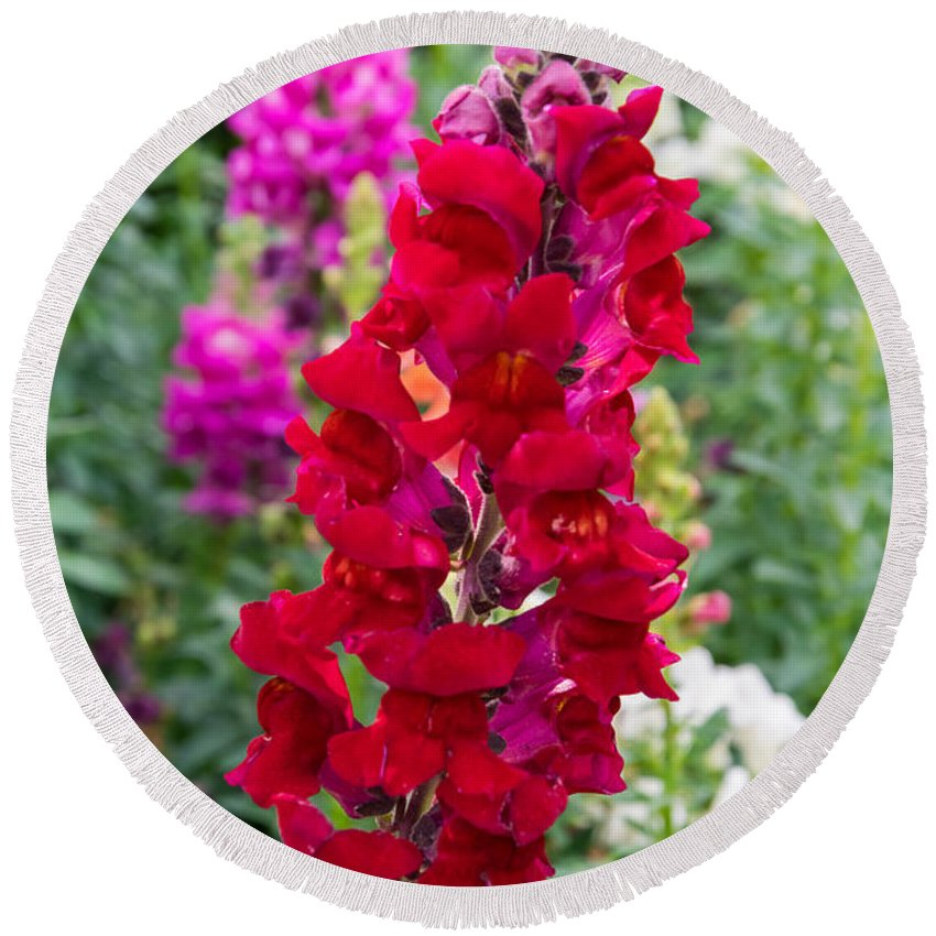 Snapdragons Round Beach Towel featuring the photograph Snapdragons by Robert VanDerWal