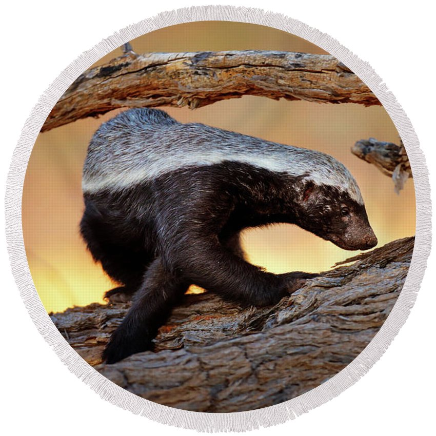 Honey Badger Round Beach Towel featuring the photograph Honey Badger by Johan Swanepoel