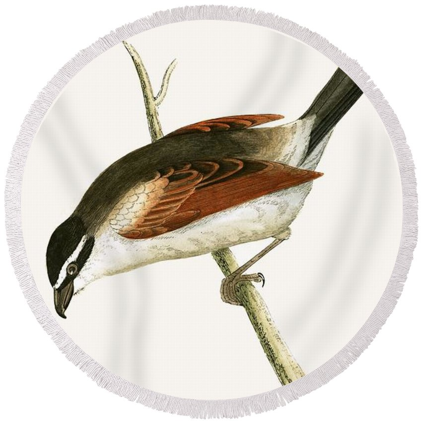 Bird Round Beach Towel featuring the painting Hooded Shrike by English School