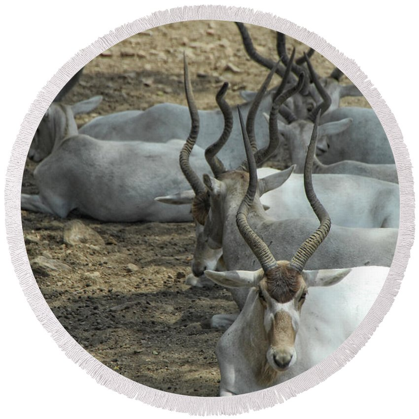 Addax Round Beach Towel featuring the photograph Horney by Donna Blackhall
