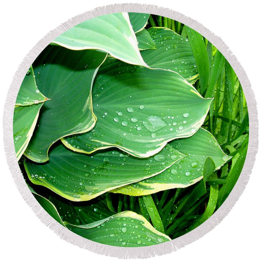 Hostas Round Beach Towel featuring the photograph Hosta Leaves And Waterdrops by Nancy Mueller