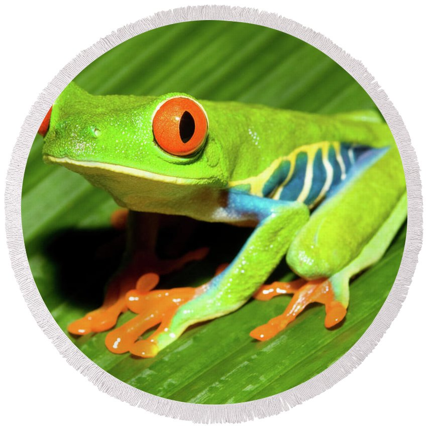 Red-eyed Tree Frog Round Beach Towel featuring the photograph How About Some Real Color by Max Waugh