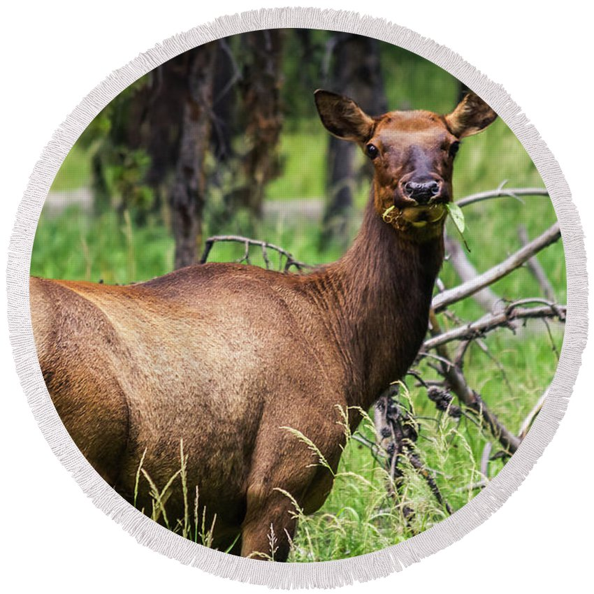 Nature Round Beach Towel featuring the photograph Hungry Elk by Mirko Chianucci