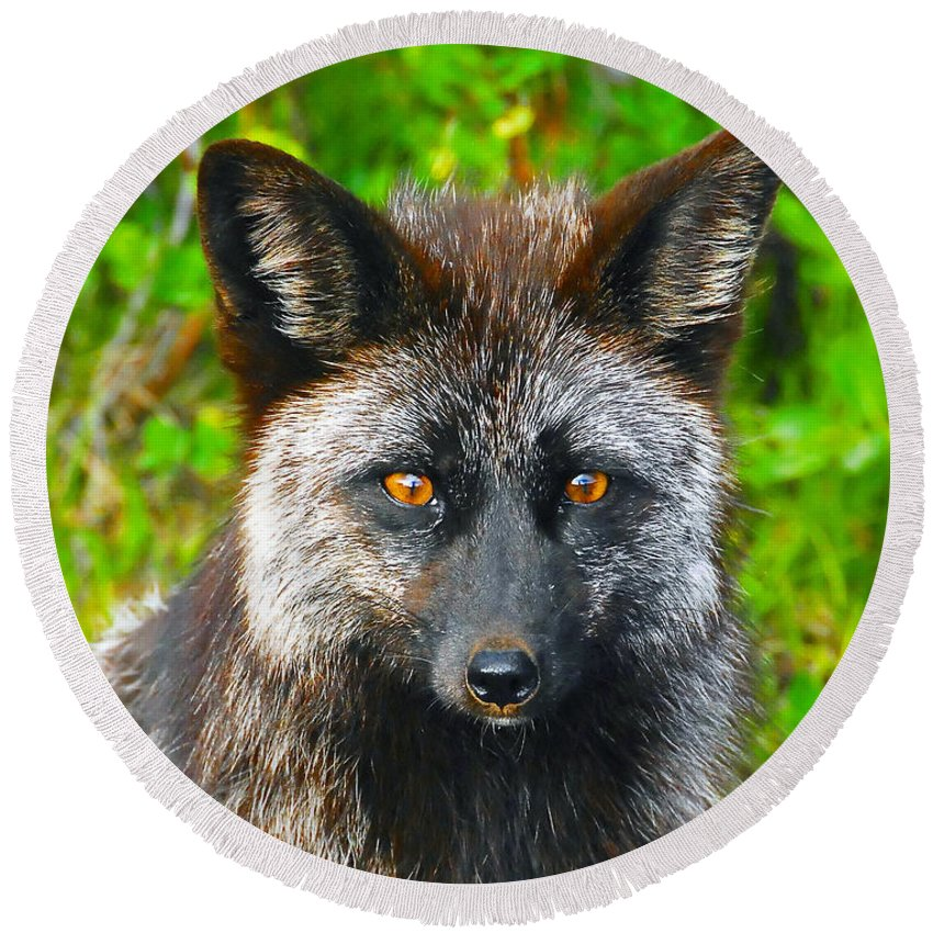 Gray Fox Round Beach Towel featuring the photograph Hungry Eyes by David Lee Thompson